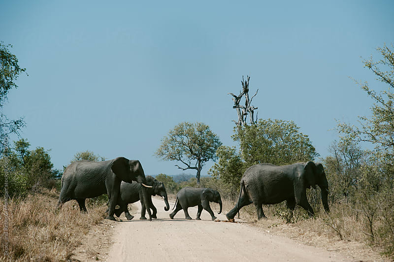 Elephant Crossing by Bruce Meissner for Stocksy United