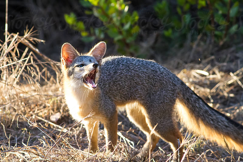 Gray Fox Snarl by Nathan French for Stocksy United