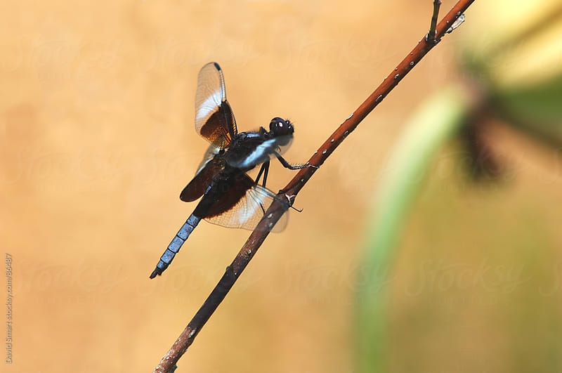 Widow Skimmer dragonfly on a twig by David Smart for Stocksy United