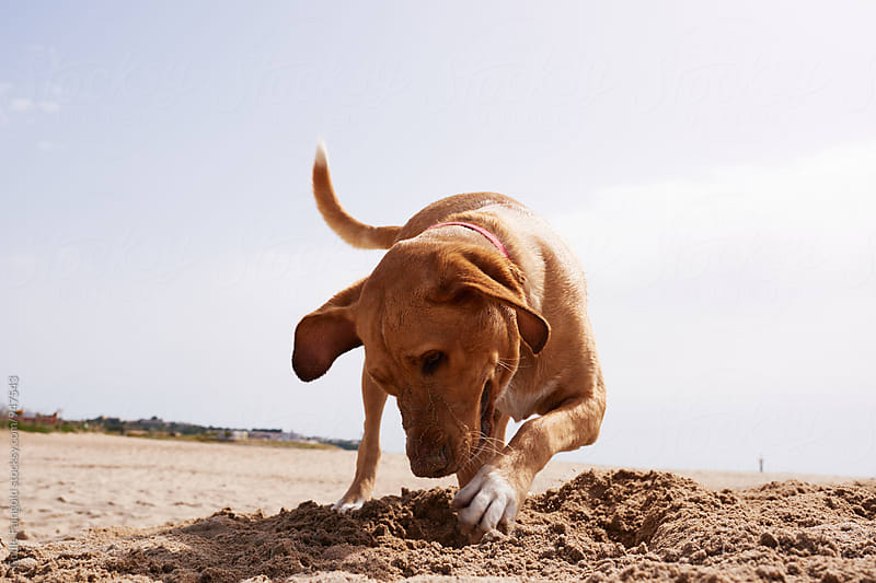 Beautiful brown dog digging hole in sand by Guille Faingold for Stocksy United