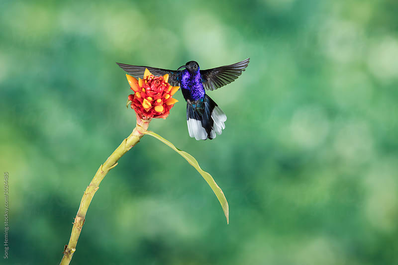 Hummingbird fly to the flower to eat nectar by Song Heming for Stocksy United