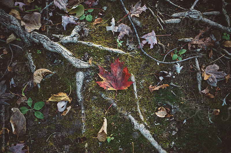 Red Maple Leaf on Moss by Kim Swain for Stocksy United
