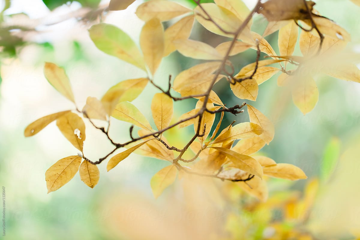 Autumnal Background Blurry Yellow Leaves On Magnolia Tree Stocksy