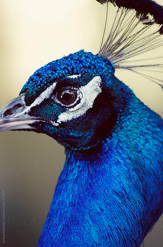 Peacock profile by Crissy Mitchell for Stocksy United