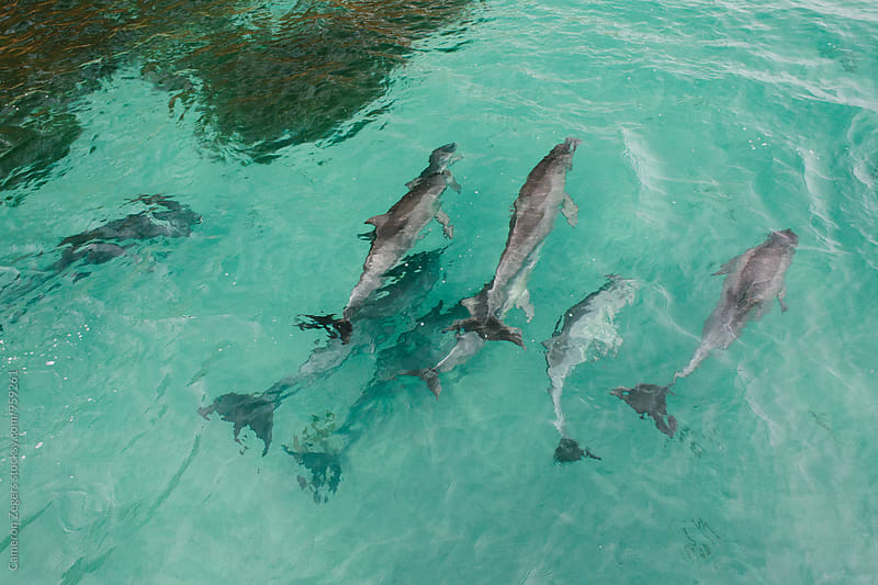 pod of dolphins swimming by Cameron Zegers for Stocksy United