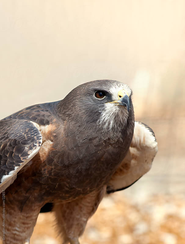 Swainson's Hawk Closeup by Brandon Alms for Stocksy United