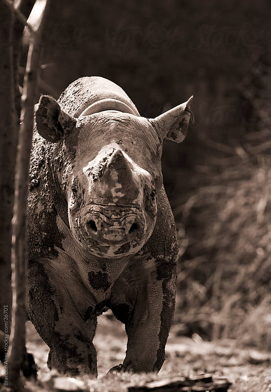 Endangered Black Rhinoceros Closeup Staring at the Camera by Brandon Alms for Stocksy United