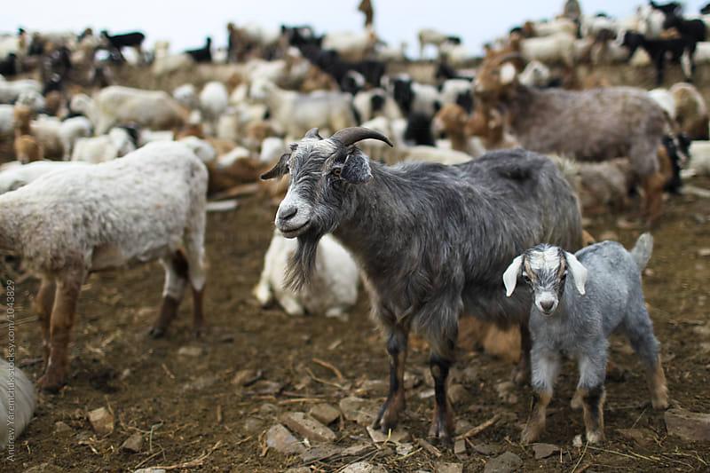 goats by Andrew Yaremchuk for Stocksy United