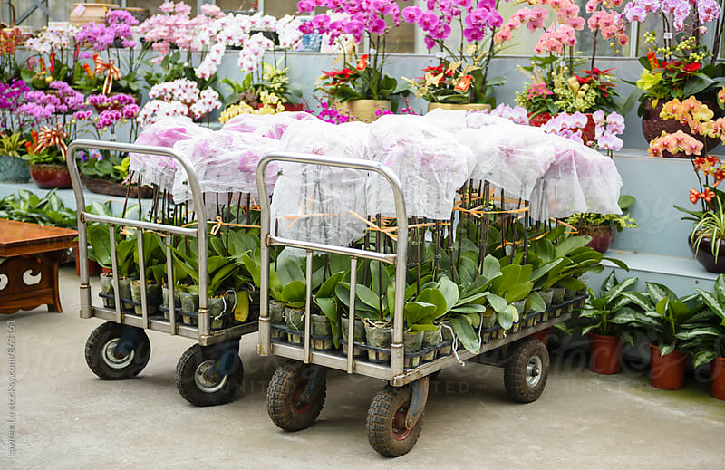 Moth orchid in bulk covered by polybag on cart by Lawren Lu for Stocksy United