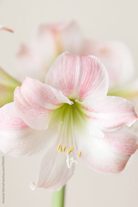 Pink and White Amaryllis plant by Amanda Worrall for Stocksy United
