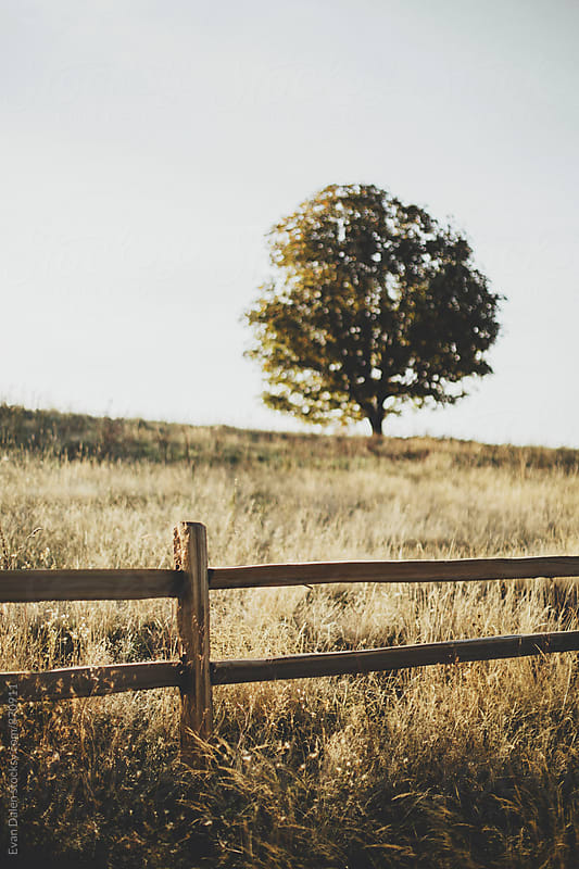 Golden Field with Wooden Fence and Tree by Evan Dalen for Stocksy United
