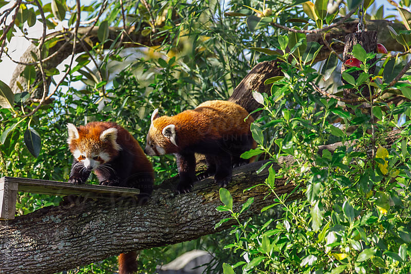 Couple of red pandas by Andrey Pavlov for Stocksy United