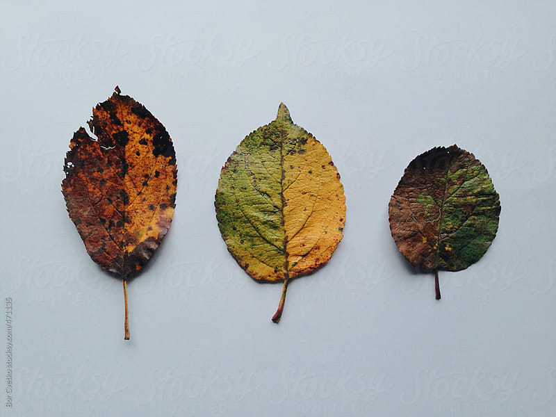 Three autumn leaves, half coloured by Bor Cvetko for Stocksy United