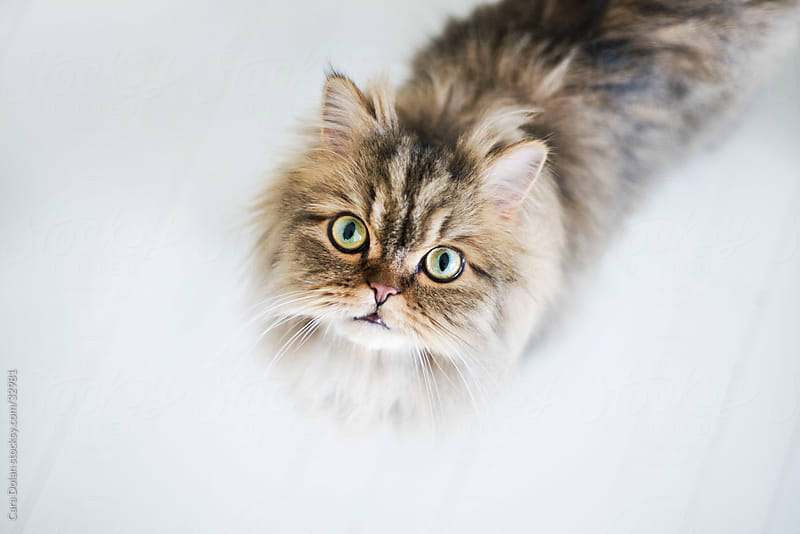 Persian cat looking up at camera by Cara Dolan for Stocksy United