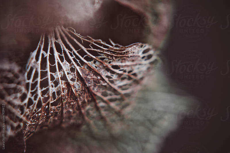 Extreme close up of textured dried hydrangea petal by Laura Stolfi for Stocksy United