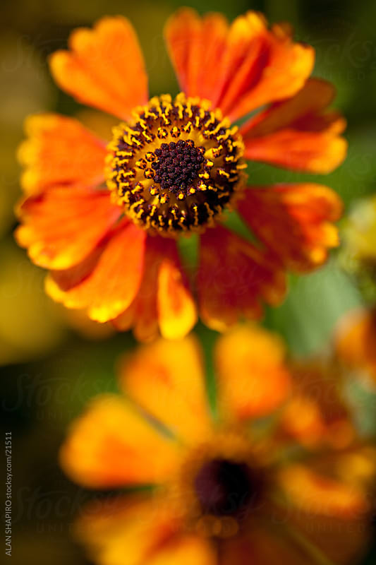 A Sneezeweed from above by ALAN SHAPIRO for Stocksy United