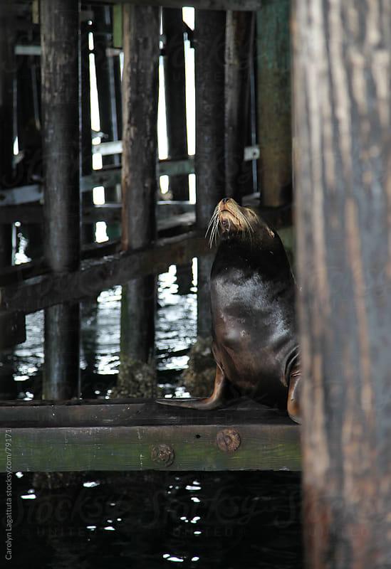 Sea lion underneath the pier by Carolyn Lagattuta for Stocksy United