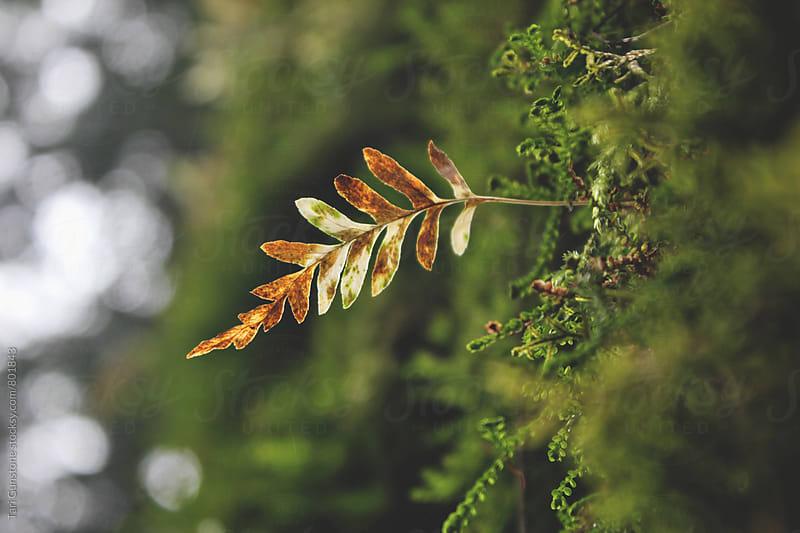 Autumn leaf illuminated by sun by Tari Gunstone for Stocksy United