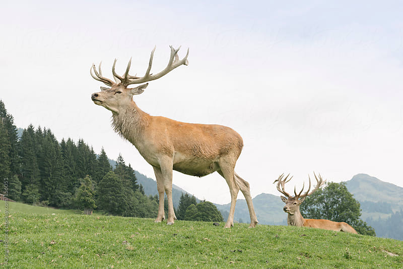 A stag on a mountain in Austria. by Craig Holmes for Stocksy United