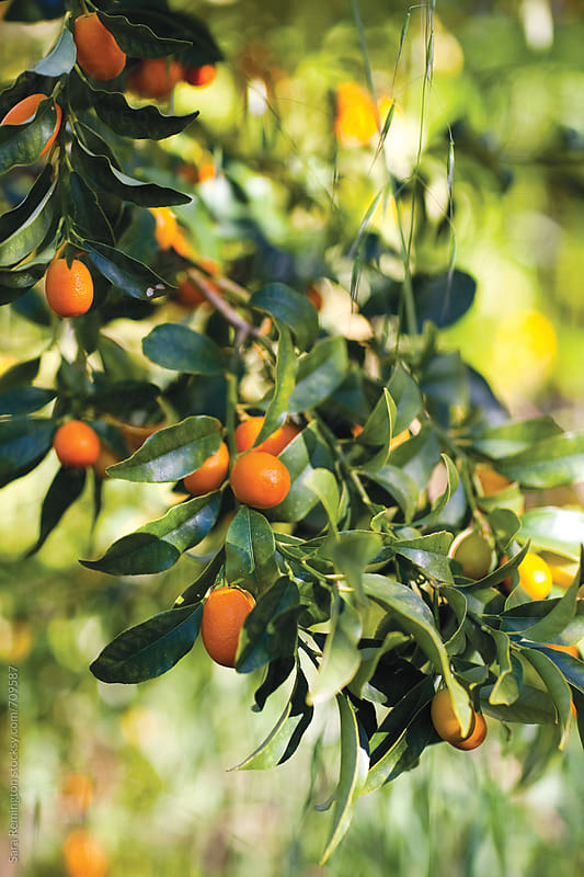 Kumquats Growing On Tree in Orchard by Sara Remington for Stocksy United