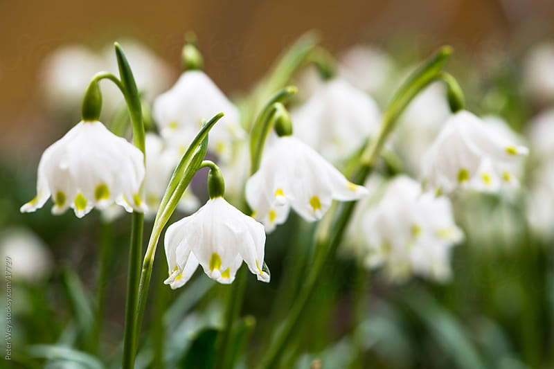 Nature in Spring: Blossoming galanthus flowers by Peter Wey for Stocksy United
