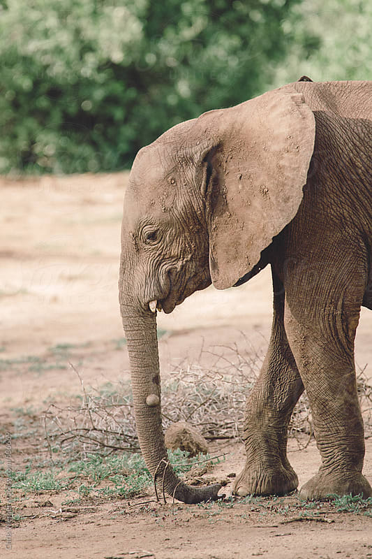 African elephant baby by Chris Werner for Stocksy United