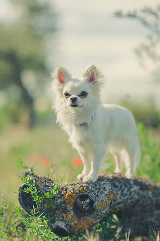 Chihuahua  playing on the grass by Javier Pardina for Stocksy United