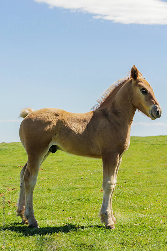Foal on the Pyrenees  by Luca Pierro for Stocksy United
