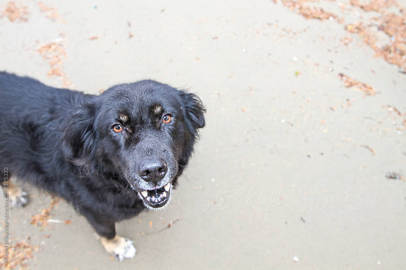 Happy black pet dog on the beach looking up into the camera by Mihael Blikshteyn for Stocksy United