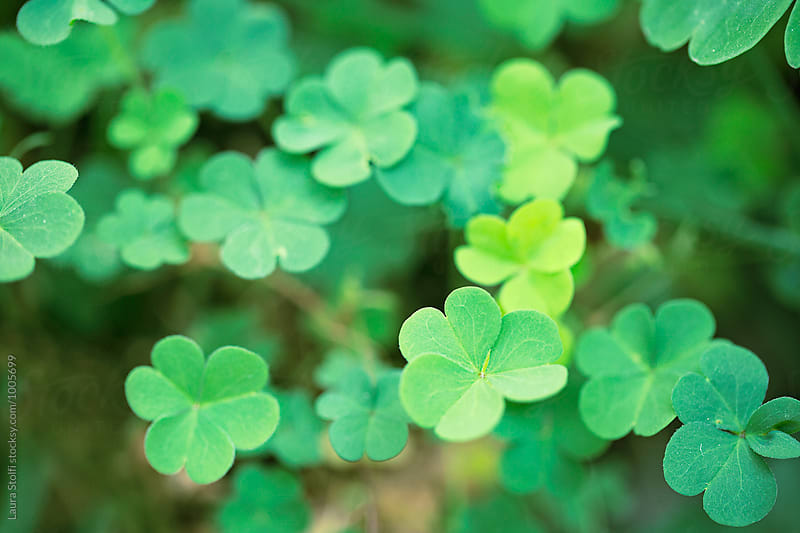 Many clovers together in field, macro by Laura Stolfi for Stocksy United
