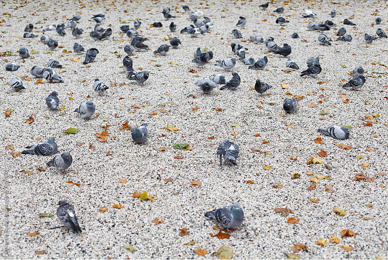 80 pigeons by Rene de Haan for Stocksy United