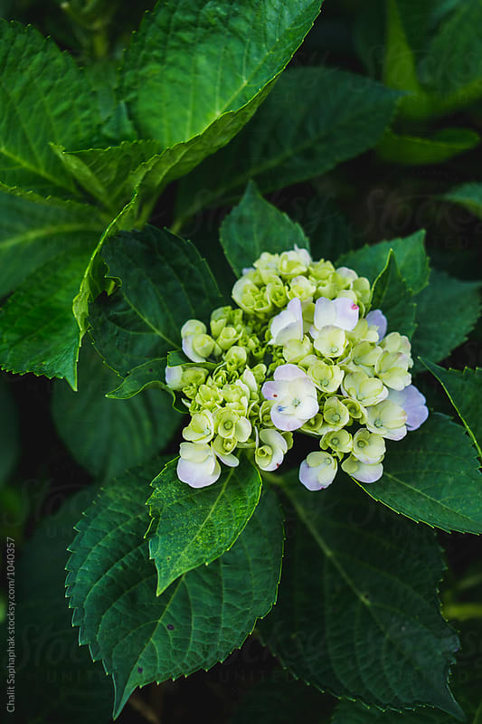 Hydrangea by Chalit Saphaphak for Stocksy United