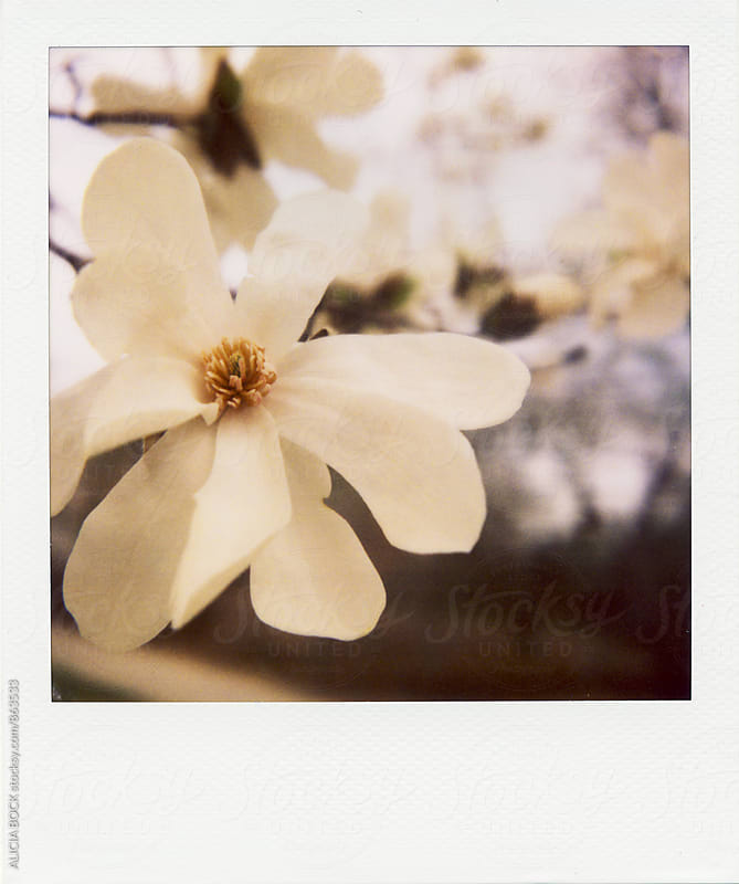 Polaroid Of A Large White Magnolia Tree Blossom by ALICIA BOCK for Stocksy United