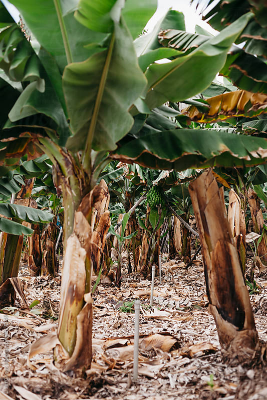 Banana plantation. La Palma, Canary Islands. by Liam Grant for Stocksy United
