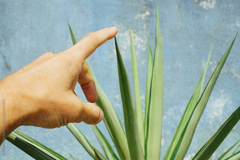 Man's hand touching sharp edge of plant by Artem Zhushman for Stocksy United