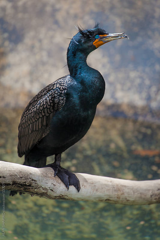 Cormorant Portrait Session by ALAN SHAPIRO for Stocksy United