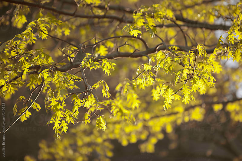 Spring Leaves of a Tree by Joselito Briones for Stocksy United