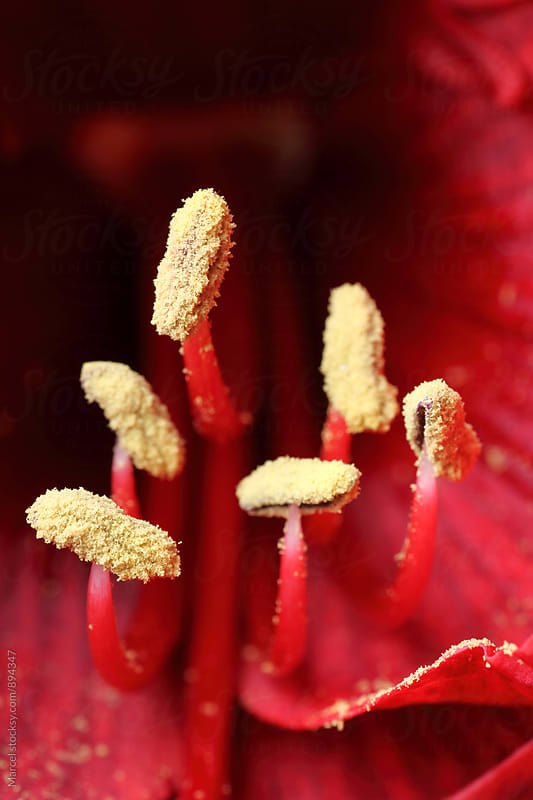 Stamen with red pollen inside a red amaryllis flower by Marcel for Stocksy United