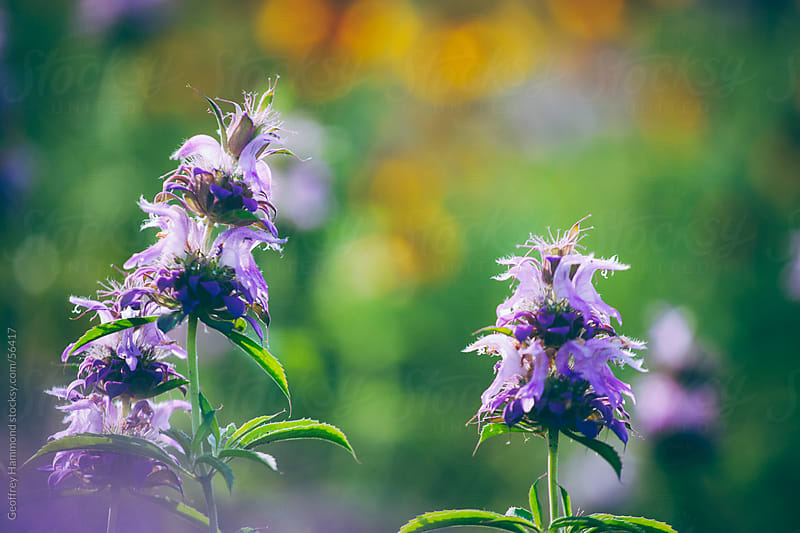 Central Texas Wildflowers, Purple Horsemint by Geoffrey Hammond for Stocksy United