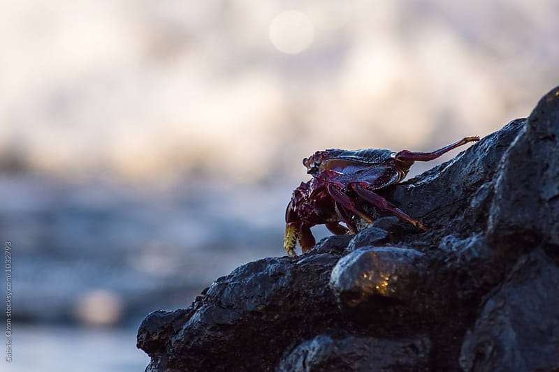 Red rock crab by Gabriel Ozon for Stocksy United