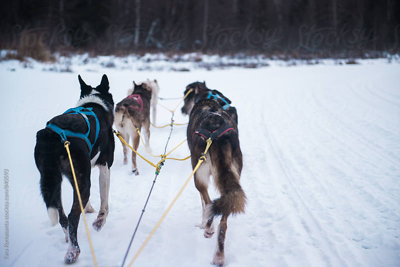 Dog sledding in Alaska with copy space by Tara Romasanta for Stocksy United