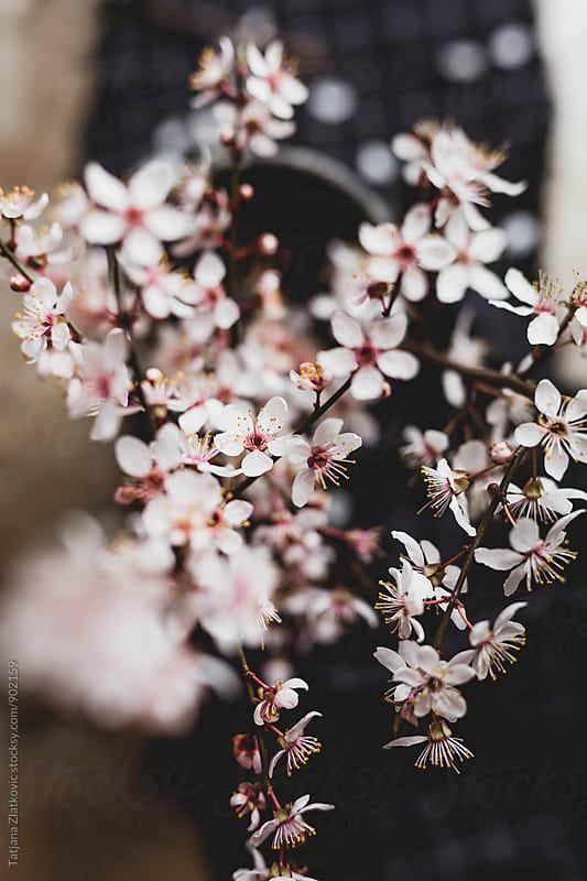 Spring flower by Tatjana Zlatkovic for Stocksy United