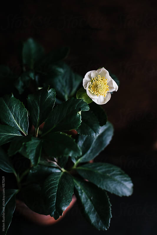 A white Hellebore by Helen Rushbrook for Stocksy United