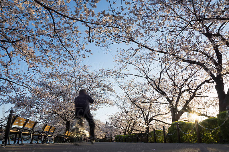 Cherry blossoms and bycyclist in Japan at sunrise by yuko hirao for Stocksy United