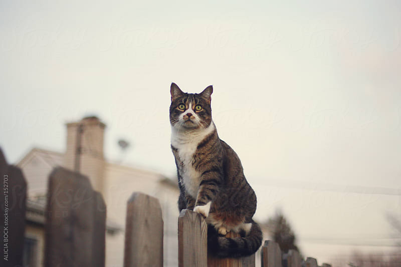 Cat On A Fence by ALICIA BOCK for Stocksy United