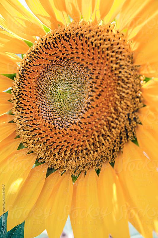Sunflower by ACALU Studio for Stocksy United