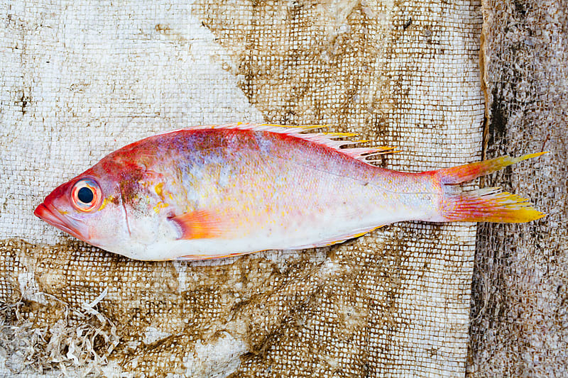 Freshly caught red fish lying on the ground by Ivo de Bruijn for Stocksy United