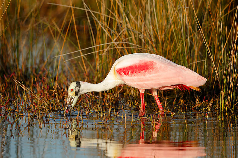 A Roseate Spoonbill by Paul Tessier for Stocksy United