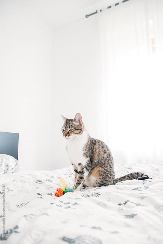 Close up of a beautiful cat sitting on the bed by Nataša Mandić for Stocksy United