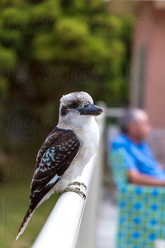 Blue winged Kookaburra perched on balcony balustrade by Ben Ryan for Stocksy United